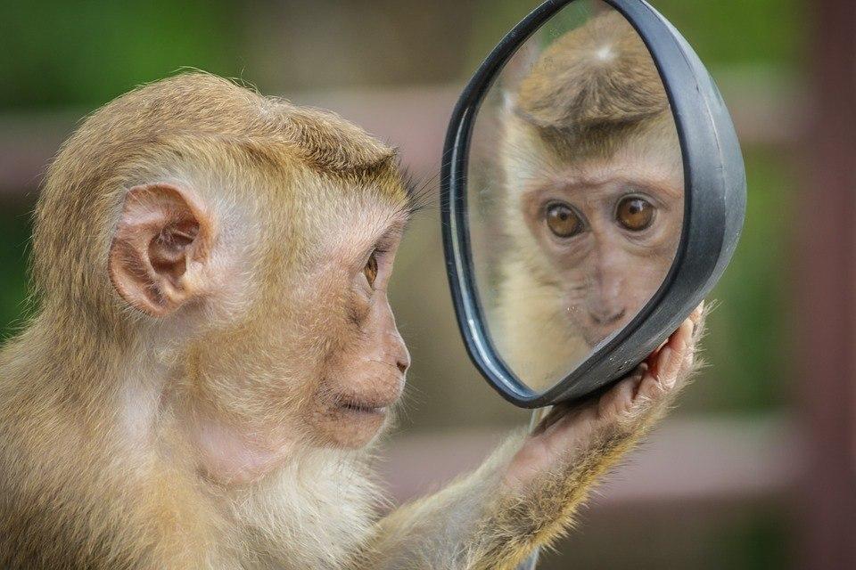 Präsentationstraining Affe lacht im Spiegel