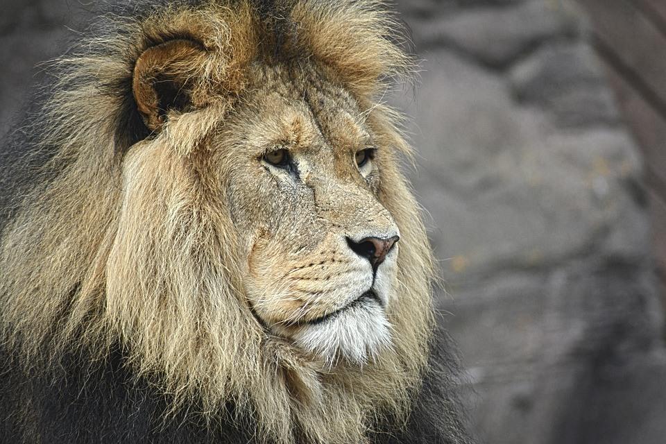 Löwe schaut