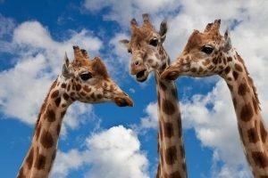 Giraffen halten Kommunikation