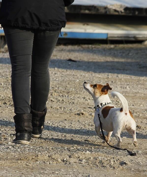 Hund schaut zum Besitzer Aufmerksamkeit