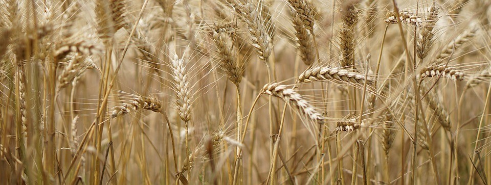 Weizen Überzeugungskraft