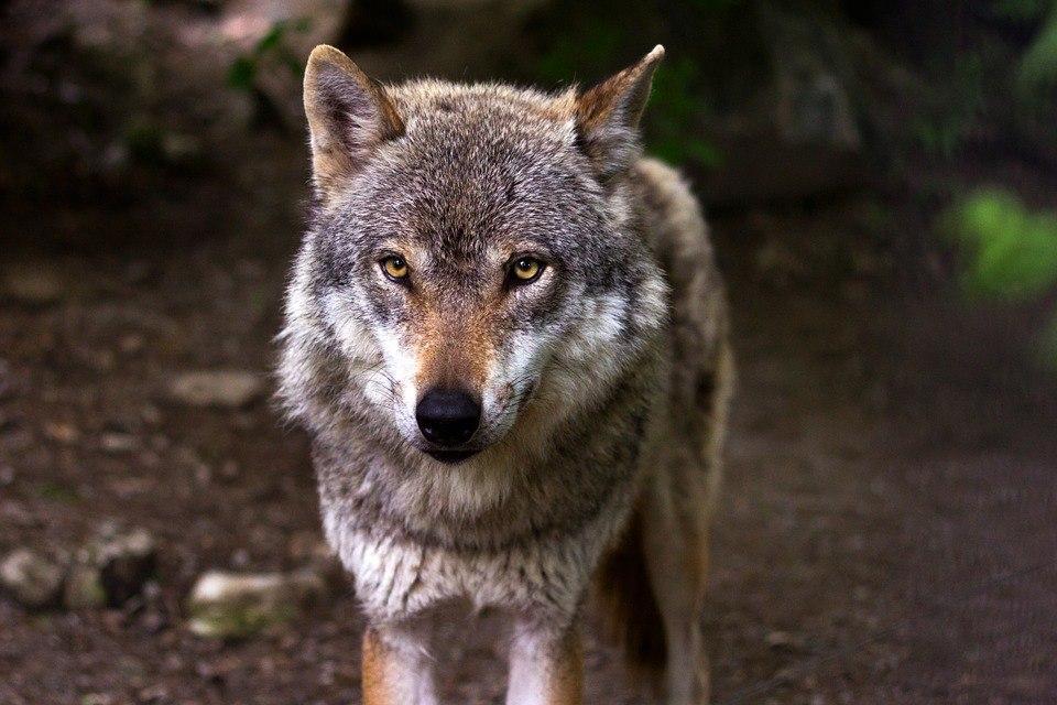 Wolf sicheres Auftreten