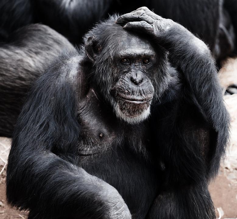 Schimpanse Erscheinungsbild