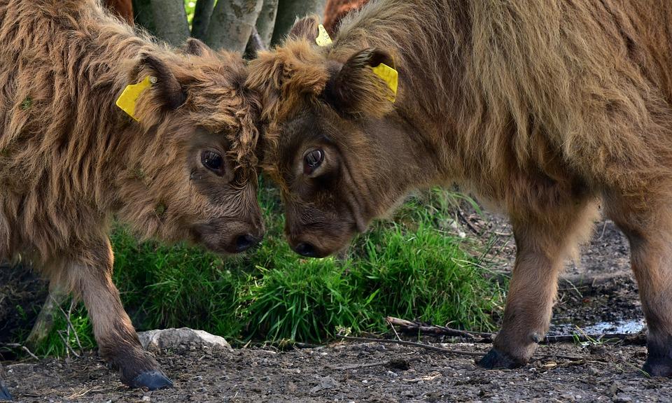 2 Büffel Konkurrenz