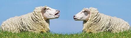 Schafe auf einer Herde